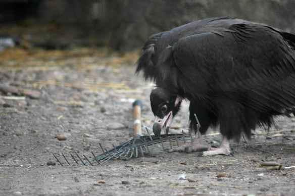 vulture_sophia12