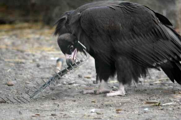 vulture_sophia13