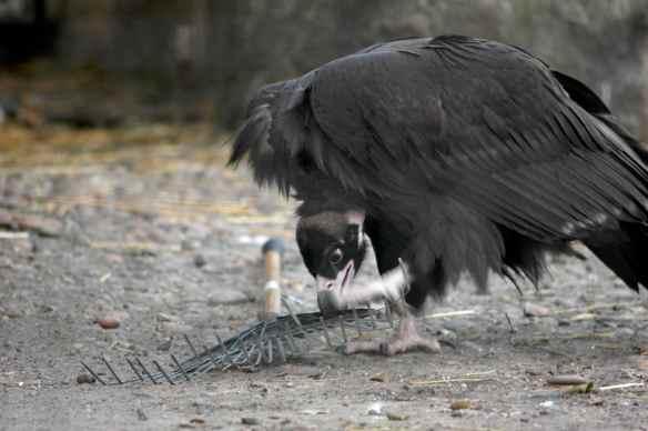 vulture_sophia14
