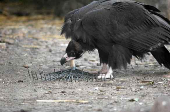 vulture_sophia16