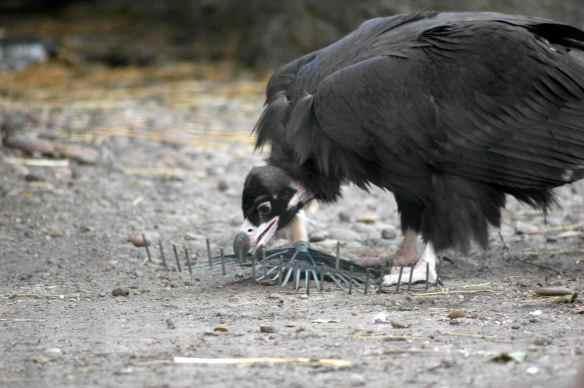 vulture_sophia17