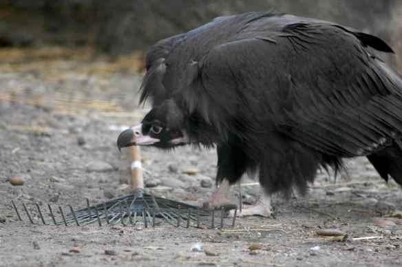 vulture_sophia18