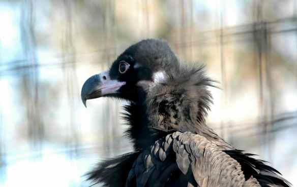 vulture_sophia19