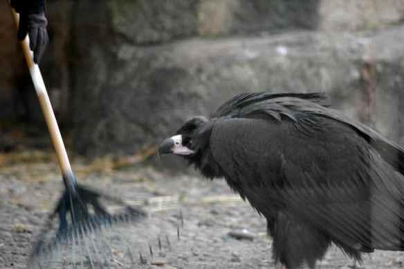 vulture_sophia3