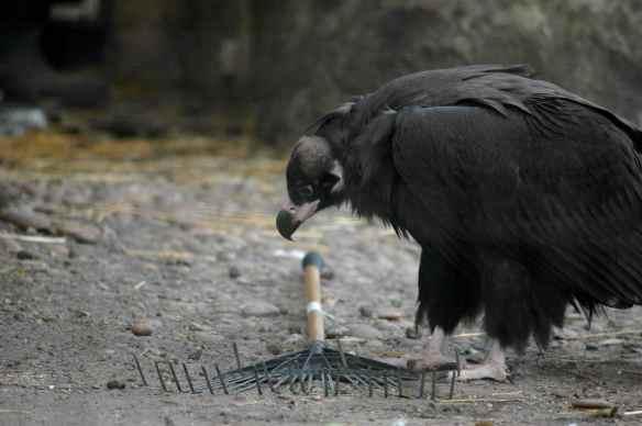 vulture_sophia4