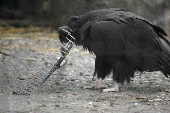 vulture_sophia6
