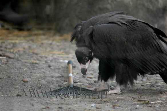 vulture_sophia7
