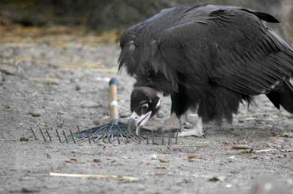 vulture_sophia8
