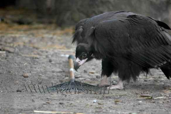 vulture_sophia9