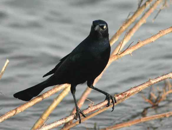 Boat-tailed Grackle in normal posture.