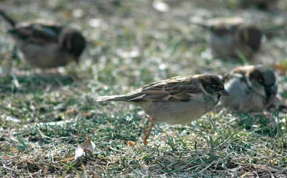 House Sparrow mid-hop: the hopping version of the thrust phase?