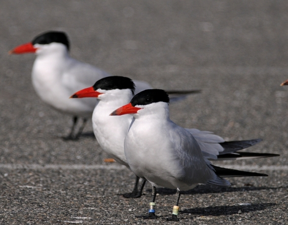 Adult Caspian Terns. Photo by Steve Mlodinow, posted by David Craig