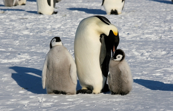 Emperor Penguins. These chicks are old enough that they don't have to worry about kidnapping anymore. Photo by Martha de Jong-Lantink