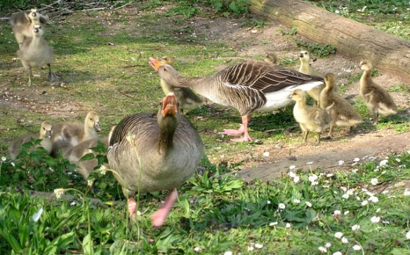 Greylag Geese defending their goslings. Photo by aneye4apicture