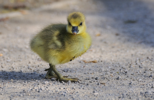 Greylag Goose chick. You can kind of see why the parents might prefer to adopt this guy... (Photo by Peter Femto)