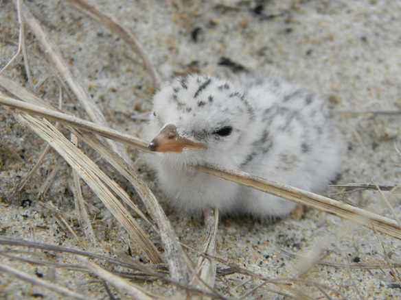 Least Tern chick again. Photo by Brian Rudinsky