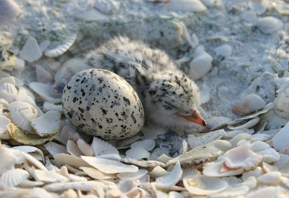 Young Least Tern chick. Photo by gdiproductions