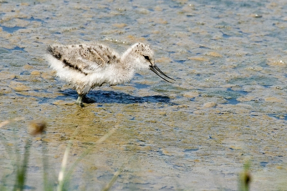 Pied Avocet chick feeding. Photo by Keith Marsha