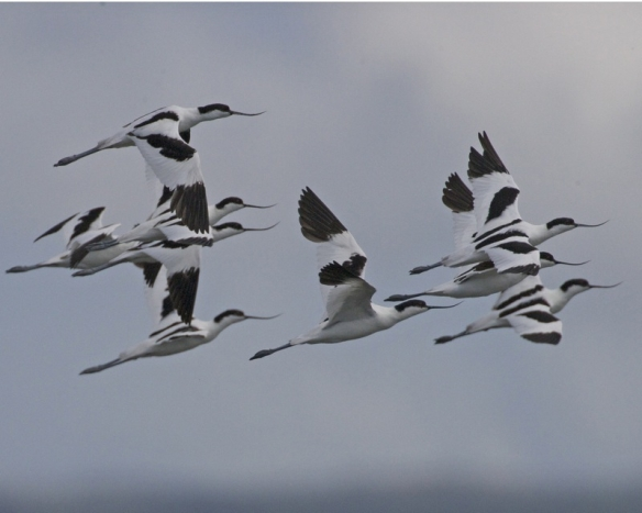 Adult Pied Avocets. Photo by Lip Kee