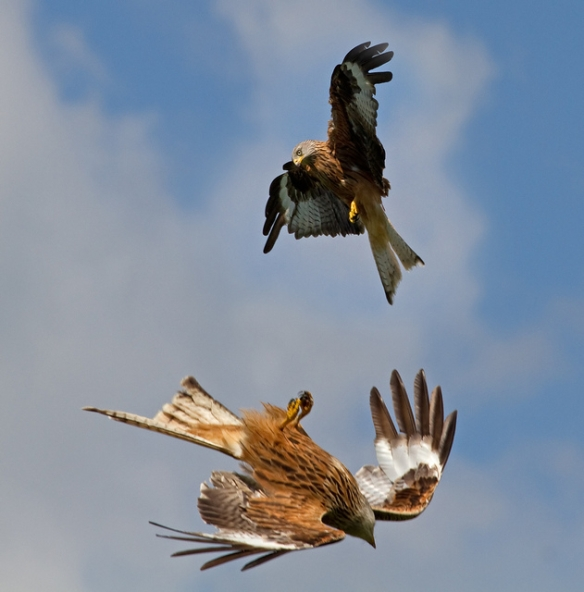 Red Kites are very acrobatic. Photo by Tony Hisgett