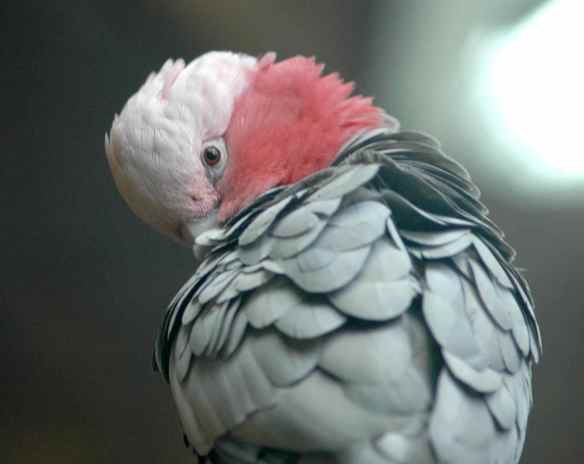 Galah, photographed at the National Aquarium in Baltimore.