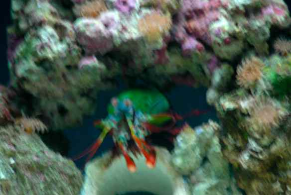 Blurry (sorry) mantis shrimp, photographed at the National Aquarium in Baltimore.
