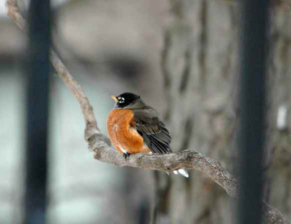 Fluffed American Robin
