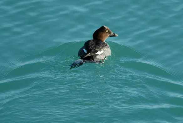 Female Common Goldeneye in Lake Michigan: it's a good thing the lake is already melted, 'cos you're not going to melt anything.