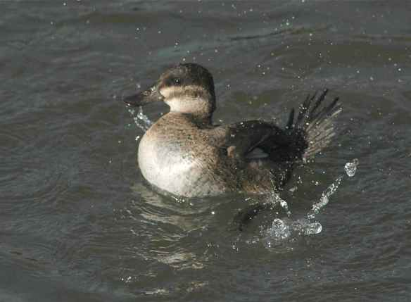 Female Ruddy Duck goes SPLASH!