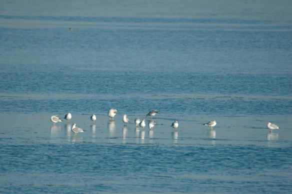 Maybe these gulls have created the ice island they are standing on by melting all the surrounding ice with their feet