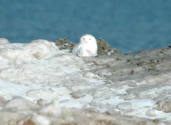 This Snowy Owl's insulating feathers let him sit on this pile of snow without worrying about melting a puddle in it.