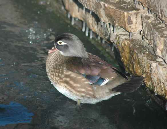 Female Wood Duck in Chicago in the winter.