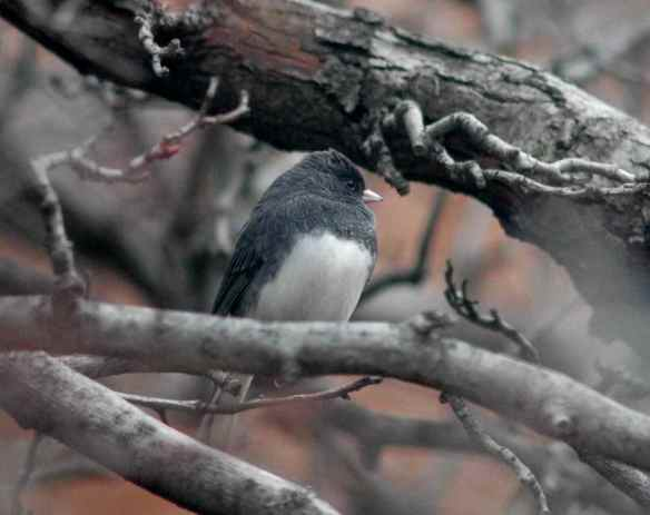Male junco in Baltimore