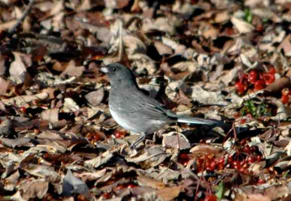 Male junco in Chicago