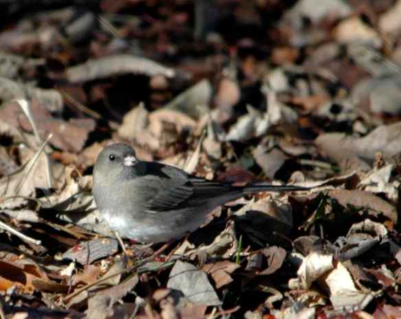 Female junco in Chicago