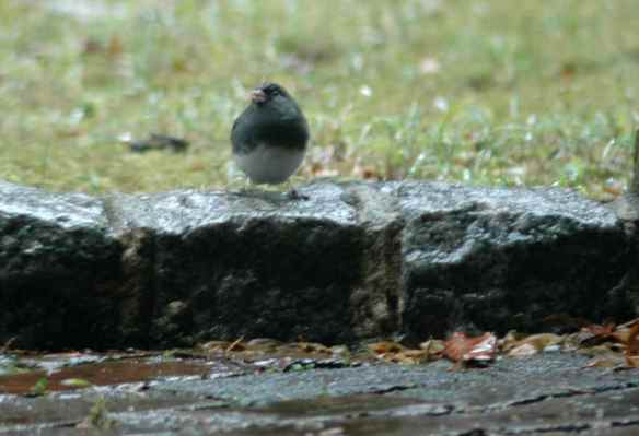 Male junco in Manhattan