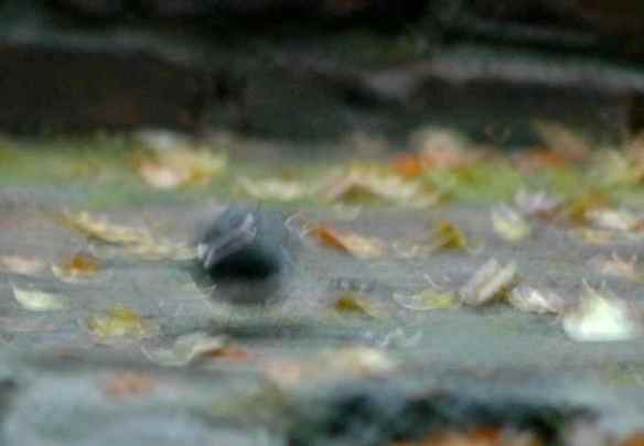 Rare two-head junco in Manhattan!