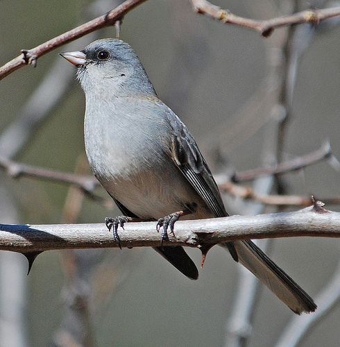Gray-headed junco. Photo by Jerry Oldenettel