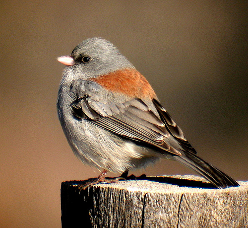 Gray-headed junco. Photo by K Schneider*