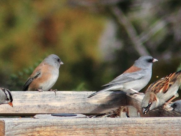 Pink-sided junco, left, and gray-headed junco, right. Photo by Kenneth Cole Schneider*