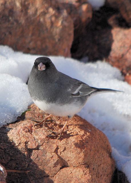 White-winged junco. Photo by John Breitsch*
