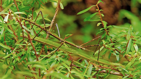 How many stick insects can you find in this picture? (Photo by John Wattie)*