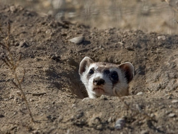 Adult black-footed ferret fits in a burrow just great. Photo by Ryan Hagerty of the US Fish and Wildlife Service*