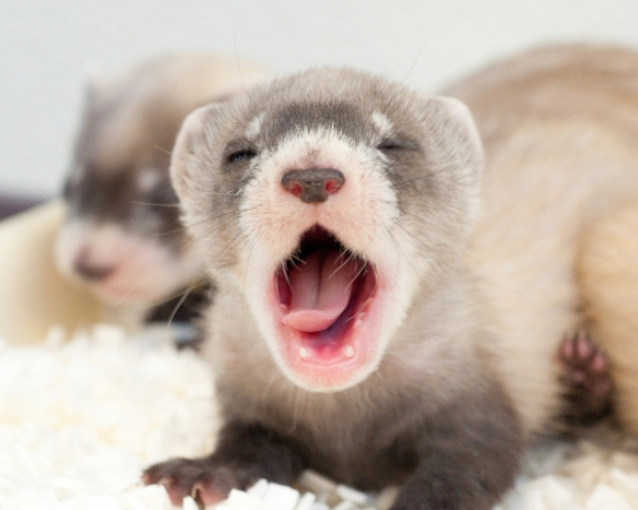 Oops. I did it again. (Black-footed ferret kits. Photo by Kimberly Tamkun of the US Fish and Wildlife Service*)