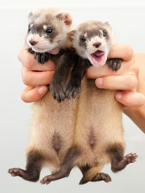 It lets them be so cute! (Black-footed ferret kits; photo by Kimberly Tamkun of the US Fish and Wildlife Service*)