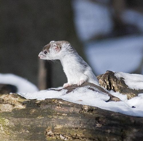 Least weasel. Photo by Sergey Yeliseev*