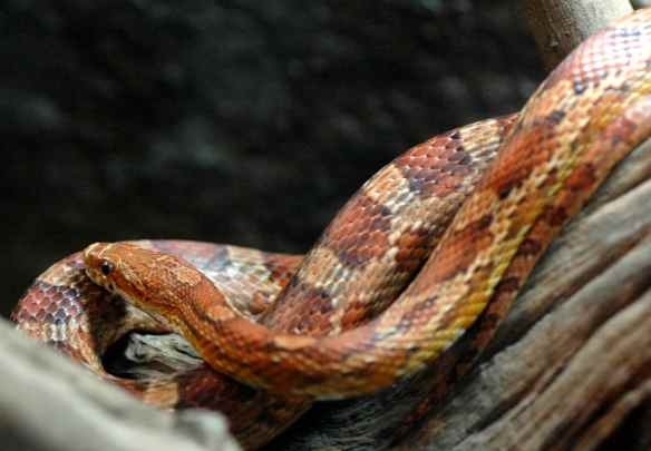 Corn snake doesn't know why you needed to read a whole long thing about why being snake-shaped is cool. Obviously it is.