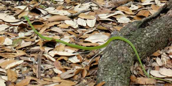 Rough green snake is very long.