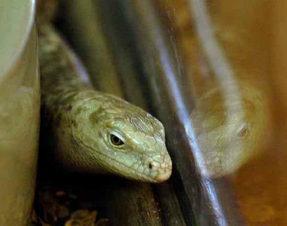 Regular lizard head...