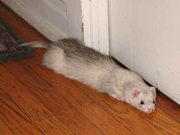 Unfortunately, Zap the domestic ferret cannot quite make himself fit through the crack under the door.